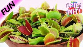 Fleischfressende Pflanze frisst Ei | Venus Fliegenfalle schnappt beim Füttern zu | Demo