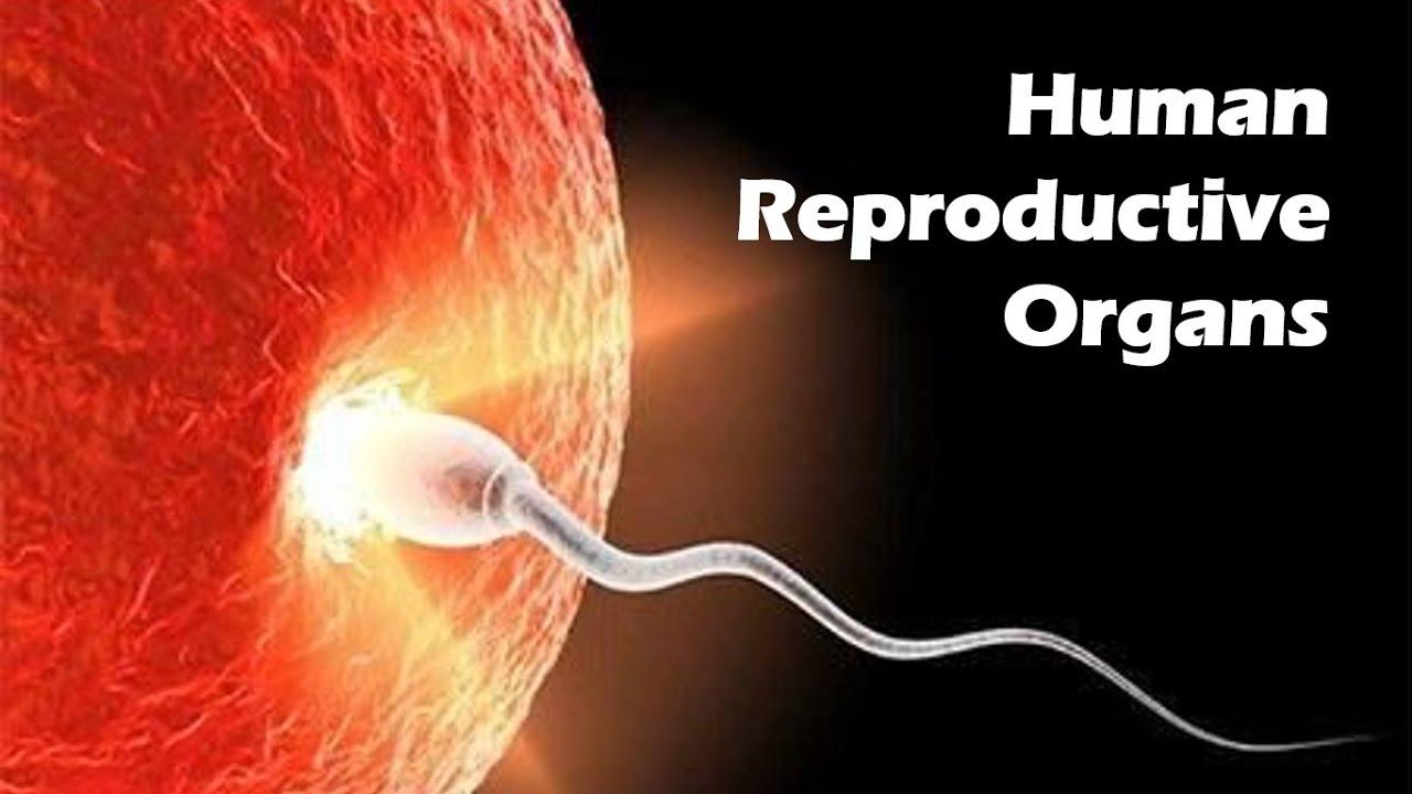 Human Reproductive Organs Youtube