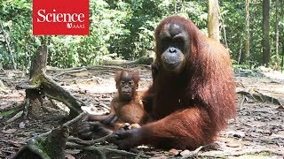 Orangutans are the only great apes-besides humans-to 'talk' about the past