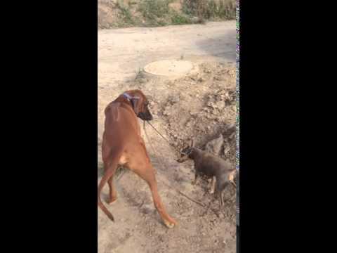 собака выгуливает другую собаку. Риджбек и руский той терьер