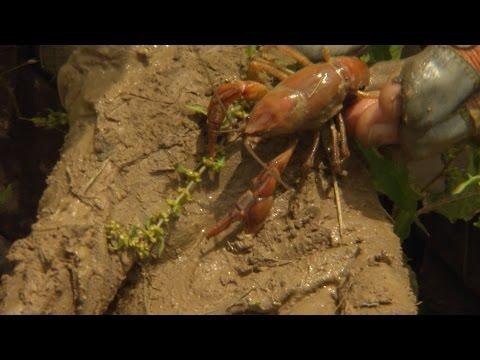 Wild SideTV-Valley Flame Crayfish