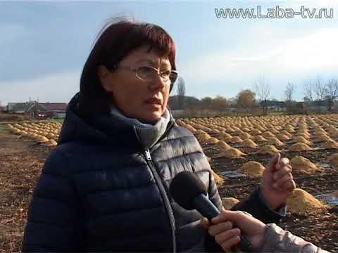 Несколько тысяч кустов голубики высадили фермеры на своем участке.