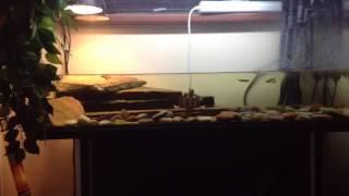 Красноухая черепаха. Уход и содержание
