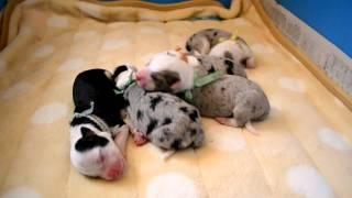 2011年1月20日生まれ。 ☆子犬の詳細は☆http://home1.netpalace.j...