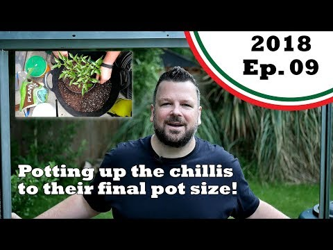 Potting up the chilli plants to the final pot size! (2018.E09 Garden Updates)