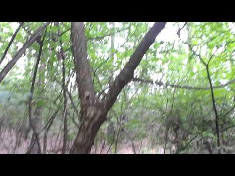 European cornel (Cornus mas), dogwood tree