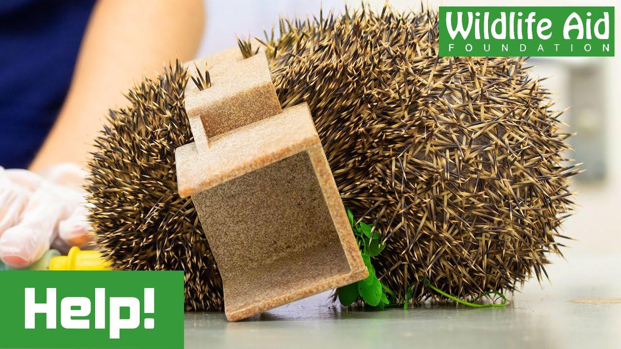 Hedgehog WEDGED inside plastic fencing joint!