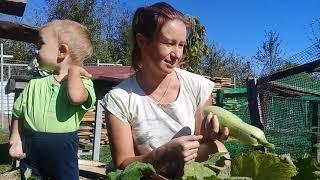 Кабачки, новы урожай в октябре
