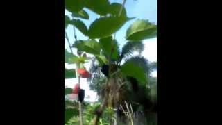 www.pepesplants.com Mulberry trees