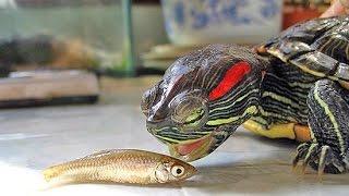 Кормим черепаху. Чем кормить черепаху зимой?
