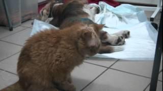 После операции по удалению опухоли у кошки (Клиника доктора Сотникова)(После операции по удалению опухоли у кошки. Клиника доктора Сотникова, тел. (812) 372-12-72., 2015-02-19T17:36:22.000Z)