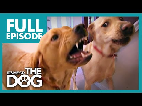 Brawling Labradors: Red and Jasper | Full Episode | It's Me or the Dog