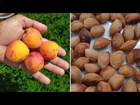 Как посадить абрикос из косточки. Заготовка косточек