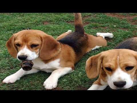American Foxhound Puppy