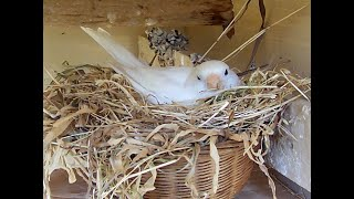 Make a nest for canary
