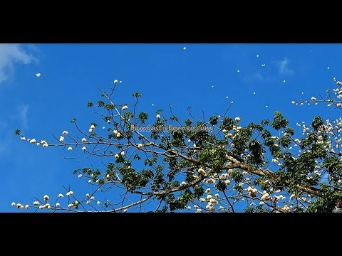 Cotton Tree's biggest bloom in Kuching town, Sarawak