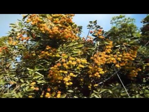 Fertile Rambutan Land During Fruit Season.   Lali Bro.