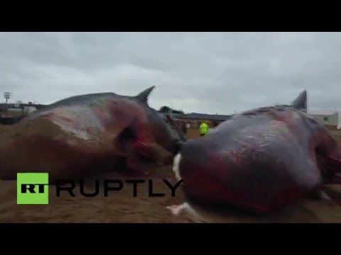 UK: Dead sperm whales moved after washing up on Skegness beach