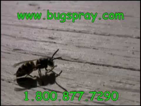 Yellow Jacket closeup video
