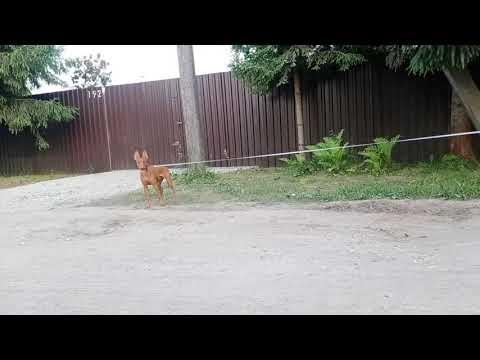 Породы собак:чирнеко дель Этна