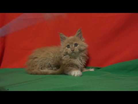 Kittens Red (red )Maine Coon / Продажа котят рыжий (красный )мейн кун