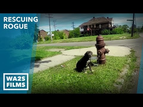 Hope For Paws for Saved Puppy Chained to Fire Hydrant Ep #4 Rescuing Rogue with Detroit Pit Crew