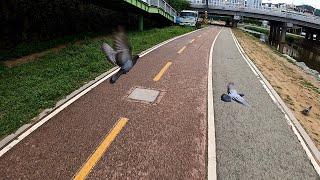 비둘기 조심