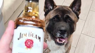 Как встречает Тайсон Американская акита 3 года,самая лучшая порода собак.