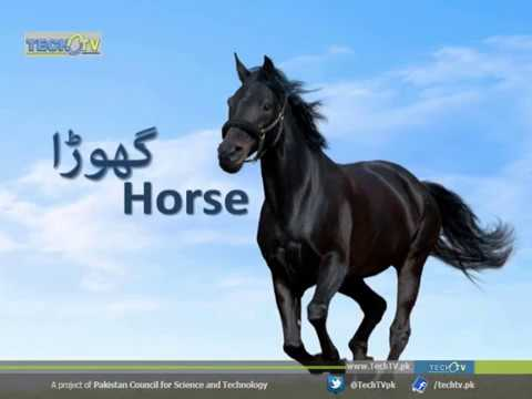 Interesting Facts About Horse  |  Tech TV Urdu Documentary