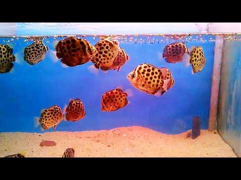 BEAUTIFUL Scatophagus Argus Fish Care Tips | Fish Video