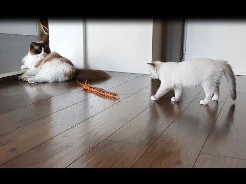 Kitten vs Giant Centipede  (Timo the Ragdoll Cat)