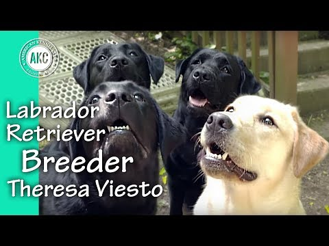 I Am A Breeder - Theresa Viesto - Labrador Retrievers