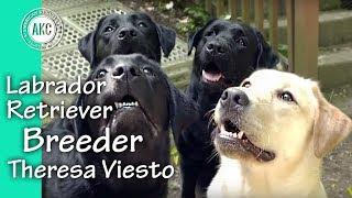 I am a Breeder - Theresa Viesto - Labrador Retrievers