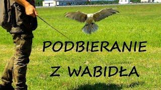 Sokolnictwo Jak podbierać ptaka z wabidła