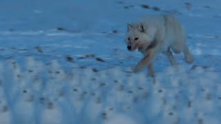Arctic Wolf Hunts Drove of Arctic Hares | A Perfect Planet | BBC Earth