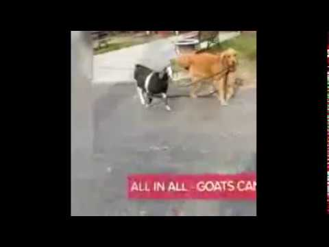 Dog care for goat
