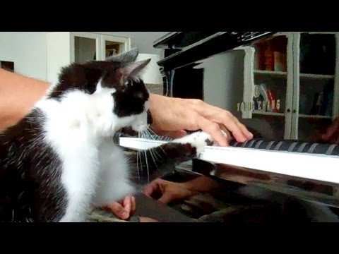 Cat interrupts piano playing, demands petting