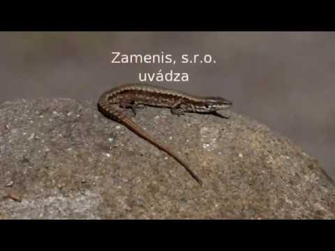Plazia Sa Slovenskom - 6. Diel Jašterica Múrová - Podarcis Muralis