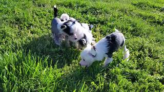 Chinese Crested Puppies at 6 weeks