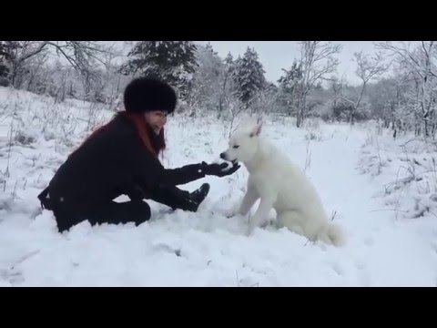 Snow white Akita inu Nika