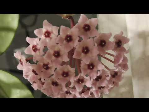 В комнате у окна цветёт цветок лиана хойя
