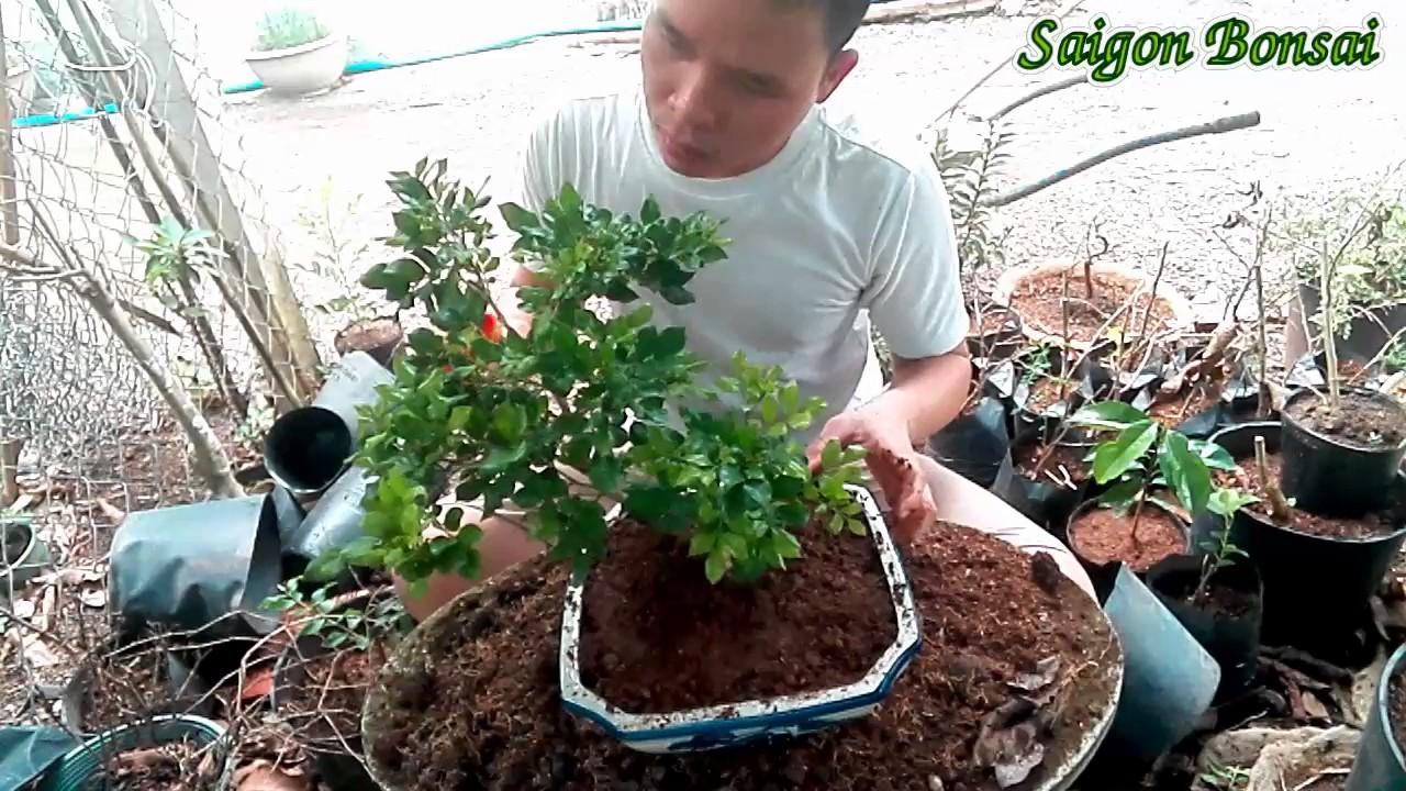 Bonsai Mini 7 Potting Laurus Nobilis Up Nguyệt Quế Len Chậu