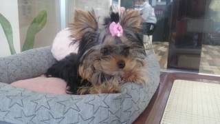 血統がとても良いセレブ犬ヨーキーさん!ベッドが大好きなお嬢様です。