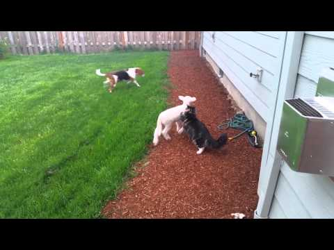 Lamb plays with cat and dog