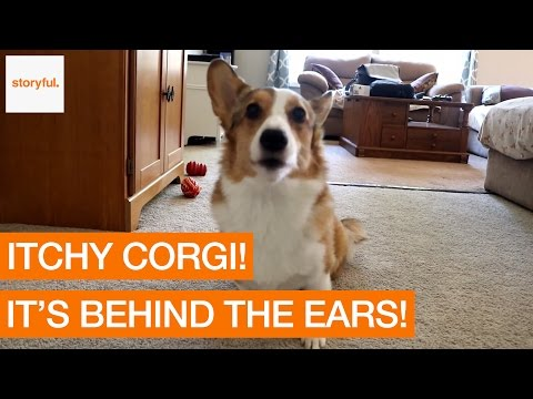 Cute Corgi Has an Itchy Face (Storyful, Dogs)