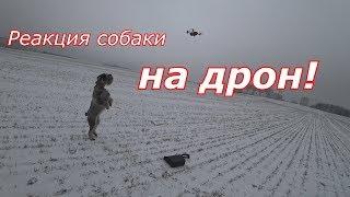 Миттельшнауцер Тара и DJI Spark/ реакция собаки на дрон, первый полет
