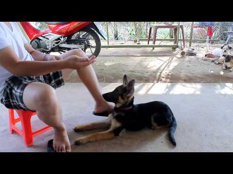 [Clip] Hướng dẩn huấn luyện chó Becgie(GSD) các bước cơ bản.