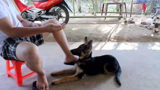[Clip] Hướng dẩn huấn luyện chó Becgie(GSD) các bước cơ bản - German Shepherd Dog
