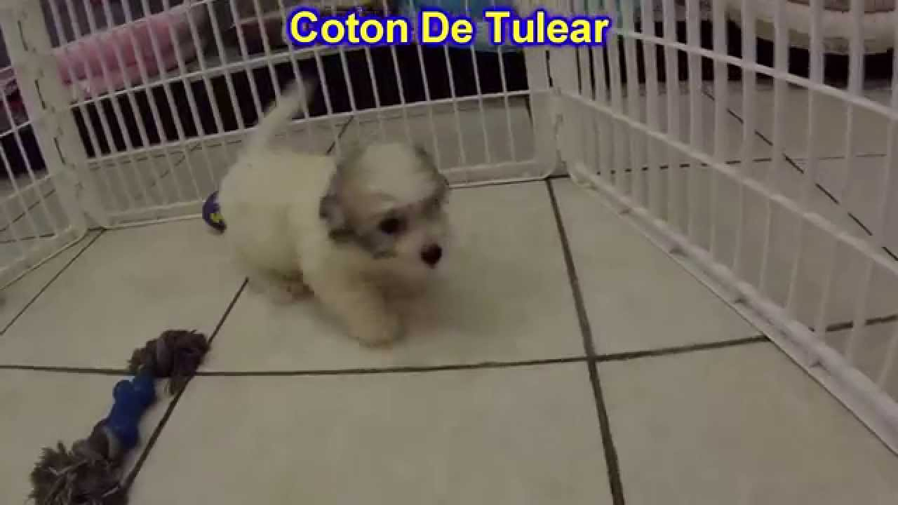 Coton De Tulear, Puppies, Dogs, For Sale, In Little Rock ...