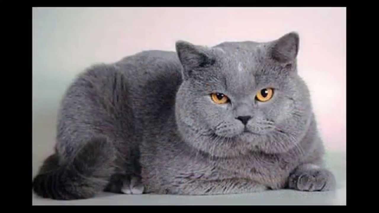 Самые красивые котята британцы. Смотрите фото котиков ...